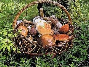 В Нижегородской области рекордный урожай грибов