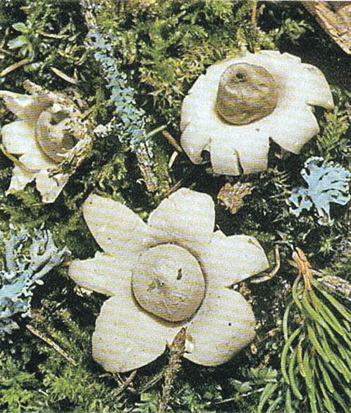Звездовик - самый необычный по форме гриб