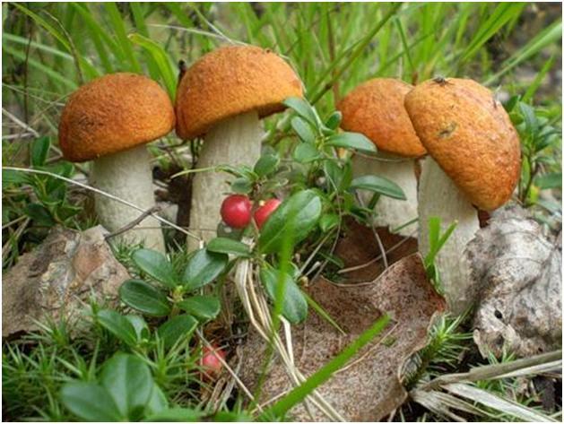 Главными в наших местах считаются боровики и другие родственные с ними грибы, именуемые белыми. За ними по вкусовым качествам идут подосиновики, подберезовики, опята, лисички, маслята...