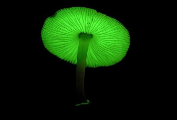 Российские ученые обнаружили, что все грибы излучают свет