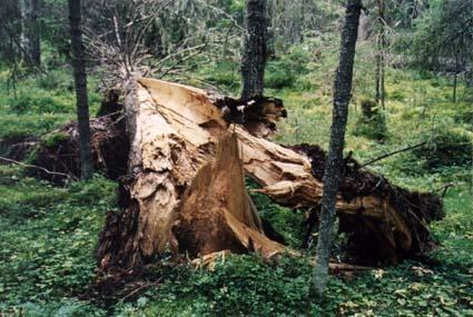 Ель, пораженная корневой губкой Фото: А. Ярошенко.
