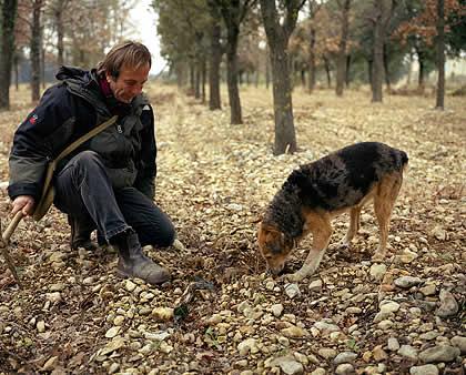 В Италии скоро откроется сезон сбора белых трюфелей