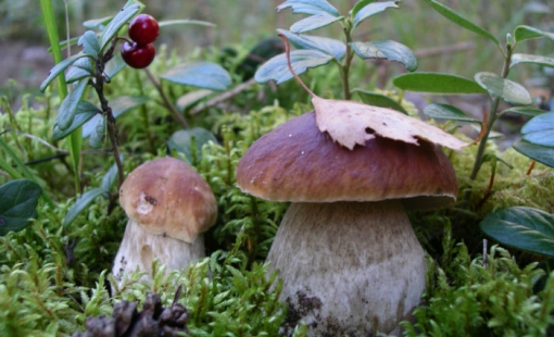 Киров: грибов будет мало, а вот ягоды порадуют