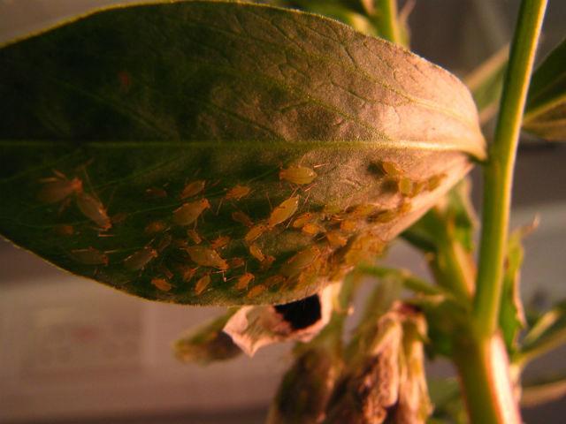 Лист растения, поражённого гороховой тлёй. Вредители высасывают из растения соки, в конце концов убивая его (фото University of Aberdeen)