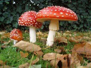 Ядовитые и несъедобные грибы
