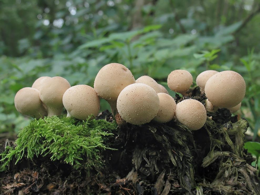 Дождевик грушевидный (Lycoperdon pyriforme Pers)
