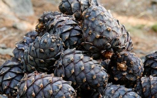 В Хакасии начался сезон сбора кедровых орехов