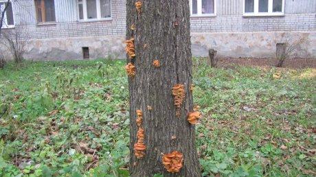 В Пензе на деревьях появились зимние грибы