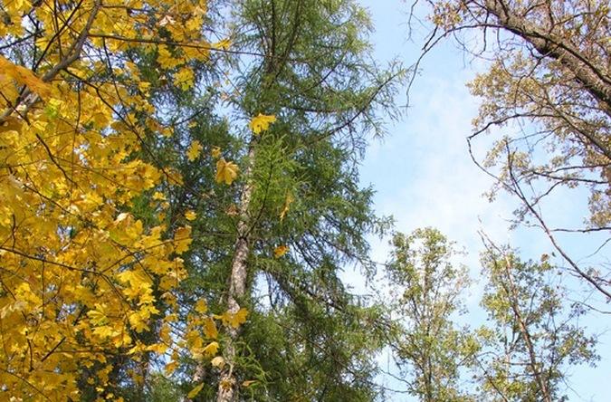 В Воронеже на месте выгоревших лесов посадят лиственницы
