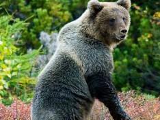 Петербургские блогеры предупреждают жителей Санкт-Петербурга и Ленинградской области о том, что в регионе появилось очень много медведей