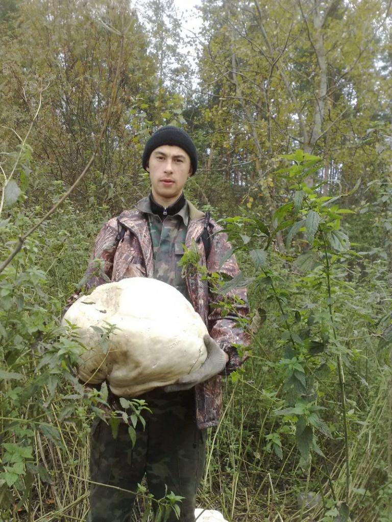 Уникален гриб своими размерами и темпами роста. Особенно крупные образцы, говорят, достигали веса до 6-12 килограммов.