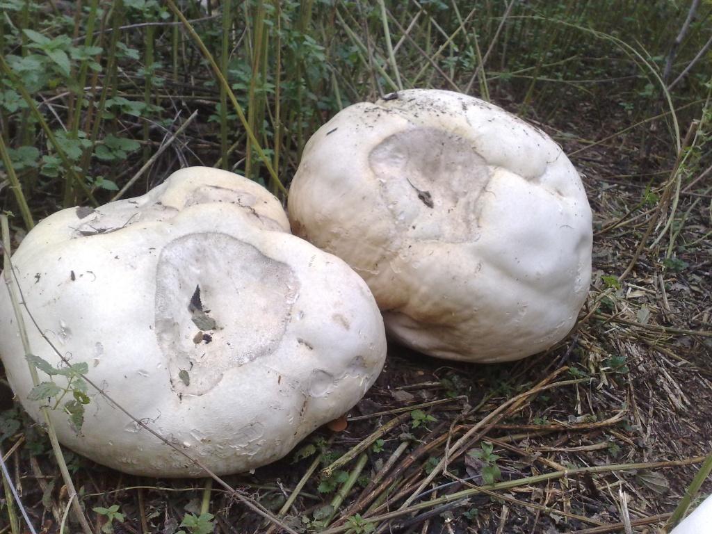 К 20-му дню исследователи стали наблюдать изменения в окраске — грибы начали темнеть.