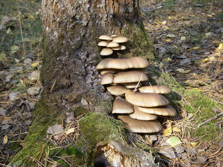 Вешенка обыкновенная, устричный гриб, Pleurotus ostreatus