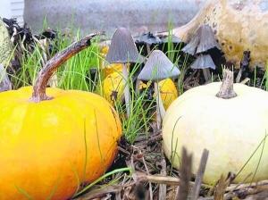 На тыкве вырастает три килограмма грибов