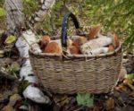 Под Петербургом уже собирают лисички
